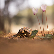 Spur-thighed Tortoise or Greek Tortoise (Testudo graeca) in a field. Photographed in Israel in February