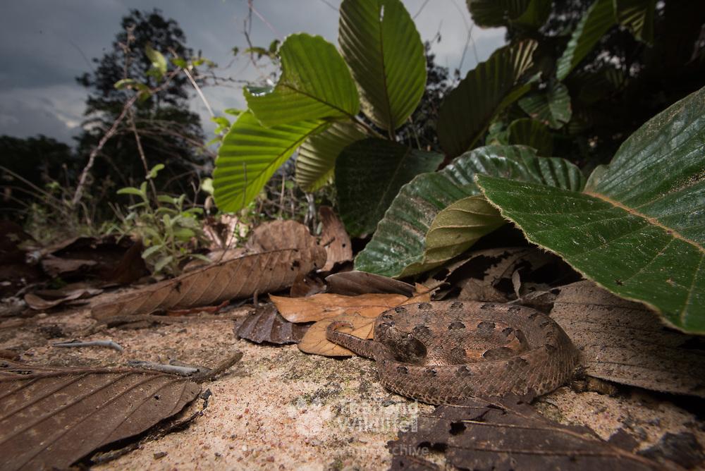 Malayan Pit Viper (Calloselasma rhodostoma) adult from Hua Hin district, Prachuap Khiri Khan, Thailand