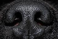 Rhinarium (Rhinarium) of a Newfoundland dog, domestic dog (Canis lupus familiaris). The area formed by the mucosa around the nostrils is hairless. Dogs are among the macrosmatic animals (nose animals), their sense of smell plays an extremely important role. Compared to human the olfactory abilities of the dog is  about a million times better. In the olfactory mucosa of a sheepdog there are about 220 million olfactory cells, in humans there are only 5 million. Dogs are able to breathe up to 300 times per minute. The olfactory cells are permanently supplied with scent particles, and passed the resulting information to the brain. Accordingly, the  olfactory brain of dogs is much more voluminous compared to humans (10% of the dog brain, 1% of the human brain). The dog's nose can differ between right and left, so that dogs smell in stereo. Newfoundland dog-breeding Stender, Neumuenster, Germany. / Nasenspiegel (Rhinarium) eines Neufundlaenders, Haushund (Canis lupus familiaris). Der durch Schleimhaut um die Nasenloecher gebildete Bereich ist haarlos. Hunde gehoeren zu den Makrosmatikern (Nasentiere), d.h. ihr Geruchssinn spielt eine ausserordentlich grosse Rolle. Im Vergleich zum Menschen ist das Riechvermoegen des Hundes um etwa eine Million mal besser ausgebildet.  Auf der Riechschleimhaut eines Schaeferhundes befinden sich ca. 220 Millionen Riechzellen, beim Menschen sind es lediglich um die 5 Millionen. Hunde sind in der Lage bis zu 300 mal pro Minute zu atmen. Die Riechzellen werden so permanent mit Duftpartikeln versorgt, und die anfallenden Informationen an das Gehirn weitergeleitet. Entsprechend voluminoes ist das Riechhirn von Hunden im Vergleich zum Menschen (10% vom Hundehirn, 1% vom Menschenhirn). Die Hundenase kann rechts und links unterscheiden, Hunde riechen also stereo. Neufundlaender-Zucht Stender, Neumuenster, Deutschland.