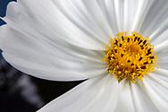 Garden Cosmos, Mexican Aster (Cosmos bipinnatus)<br /> United States: Alabama: Tuscaloosa Co.<br /> Tulip Tree Springs off Echola Rd.; Elrod<br /> 5-Sep-2016<br /> J.C. Abbott #2864