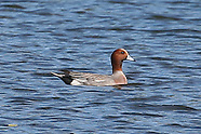 Eurasian Wigeon photos