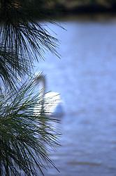 Unfocussed White Swan Swimming Behind Pine Tree