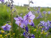 fjellflokk, Polemonium caeruleum, jakobsstige, Jacob's Ladder, Greek valerian,