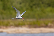 Arctic Tern (Sterna paradisaea) returning to nest with minnow at Potter Marsh in Southcentral Alaska. Spring. Afternoon.