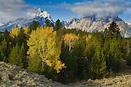 Aspen trees in autumn morning forest below the Grand Teton mountain, Grand Teton National Park, Wyoming