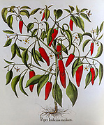 Hand painted Capsicum annuum (Red Pepper) from Hortus Eystettensis, a codex produced by Basilius Besler in 1613 of the garden of the bishop of Eichstätt in Bavaria.
