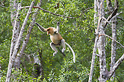 Proboscis Monkey<br /> Nasalis larvatus<br /> Dominant male leaping<br /> Sabah, Malaysia