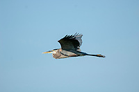 Great Blue Heron Ardea herodias in flight Green Cay Nature Centre Delray Beach Florida USA