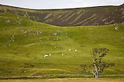 Sheep Grazing on the hills of Glen Clunie, Scotland