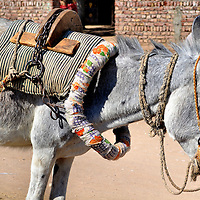 Harnessed Donkey with Saddle in Luxor, Egypt<br />