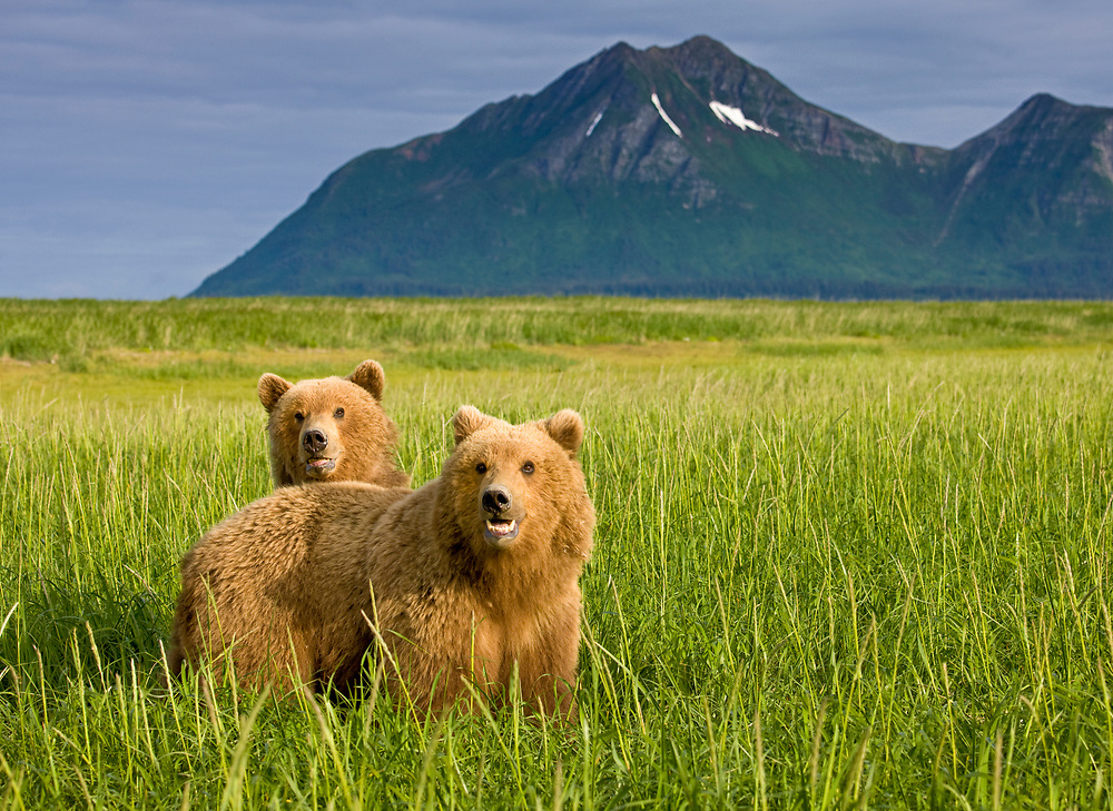 USA, Alaska, Katmai National Park, Brown Bears (Ursus arctos) in tall grass in meadow along Hallo Bay at sunset on summer evening