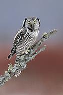 Northern Hawk-Owl - Surnia ulula