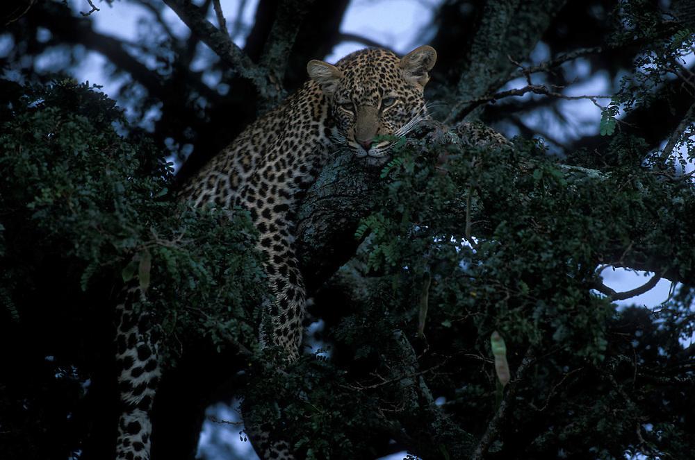Africa, Kenya, Masai Mara Game Reserve, Leopard (Panthera pardus) resting in tree branch along Telek River