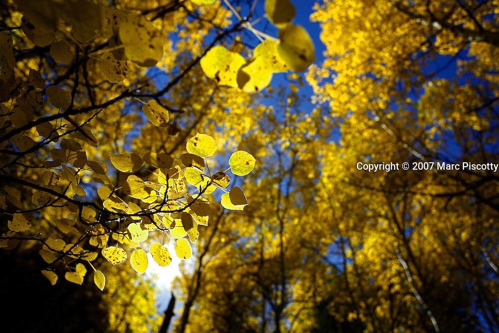 SHOT 9/27/2007 - Photos of aspen trees turning yellow as the fall foliage season comes to a peak in Colorado. The aspen trees were located in the Arapaho National Forest near Georgetown, Co. Populus tremuloides, the Quaking Aspen or Trembling Aspen, is a deciduous tree native to cooler areas of North America and is generally found at 5,000-12,000 feet. The name references the quaking or trembling of the leaves that occurs in even a slight breeze due to the flattened petioles. It propagates itself by both seed and root sprouts, and extensive clonal colonies are common. Each colony is its own clone, and all trees in the clone have identical characteristics and share a root structure..(Photo by Marc Piscotty/ © 2007)