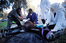 SPANA vets work to save a donkey with an open wound, mistakenly treated by it's owner with battery acid, Marrakech, Morocco.