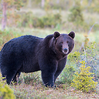 Finnland Bären