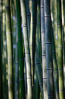 Japan Kyoto bamboo grove close-up