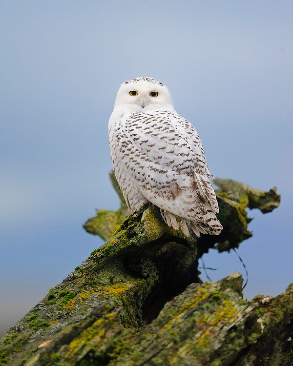Snowy Owl Portrait, Pacific Northwest Coast