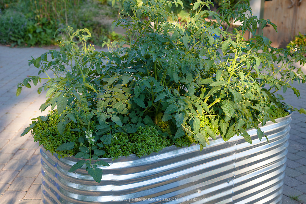 Tomatoes growing with little-leaf basil in a raised, corrugated galvanized planter in a container garden.