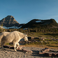 mountain goat walking along the hidden lake train, glacier natonal park, montana