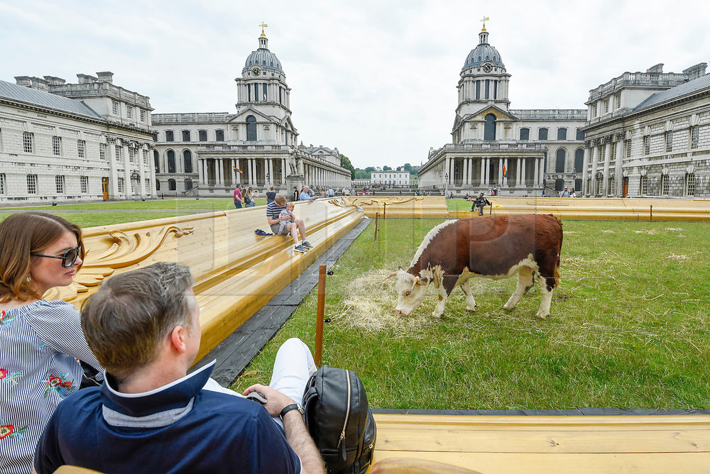 """© Licensed to London News Pictures. 23/06/2019. LONDON, UK.  One of a pair of Friesian cows grazes in a pasture at the Old Naval College as part of a live real life painting called """"Pasture with cows"""" by the Captain Boomer Collective. The artwork is part of the Greenwich Fair, itself part of the Greenwich+Docklands International Festival.  The festival runs until 6 July 2019.  Photo credit: Stephen Chung/LNP"""