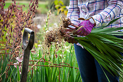 Lifting gladiolus plants after they have finished flowering ready for storing