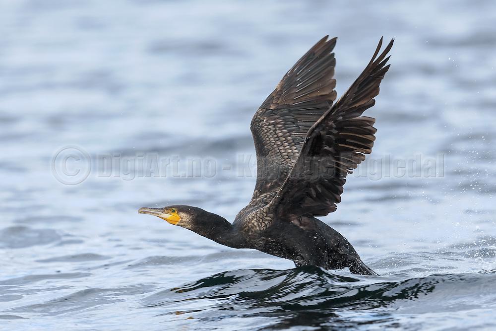Escaping Cormorant | Flyktende Skarv.