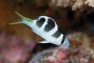 Monotaxis grandoculis (Bigeye Emperor)