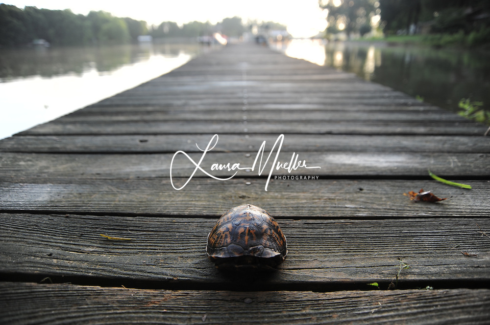 Eastern Box Turtle. Lake Norman, North Carolina.<br /> photo &copy; Laura Mueller 2010