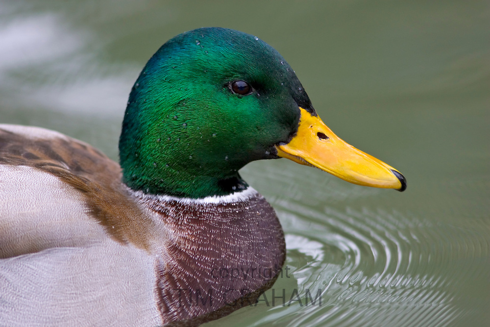 Mallard duck in River Windrush, Burford, The Cotswolds, United Kingdom