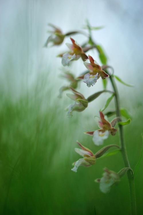 Marsh Helleborine (Epipactis palustris), Denmark