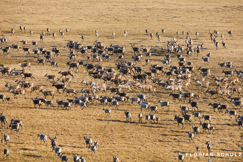 Caribou moving across the tundra by the hundreds during migrating season. ANWR, Alaskan Arctic.