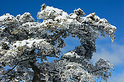 Spanish fir (Abies pinsapo) branches covered in snow. Sierra de las Nieves Biosphere Reserve, Ronda, Málaga province, Andalucia, Spain
