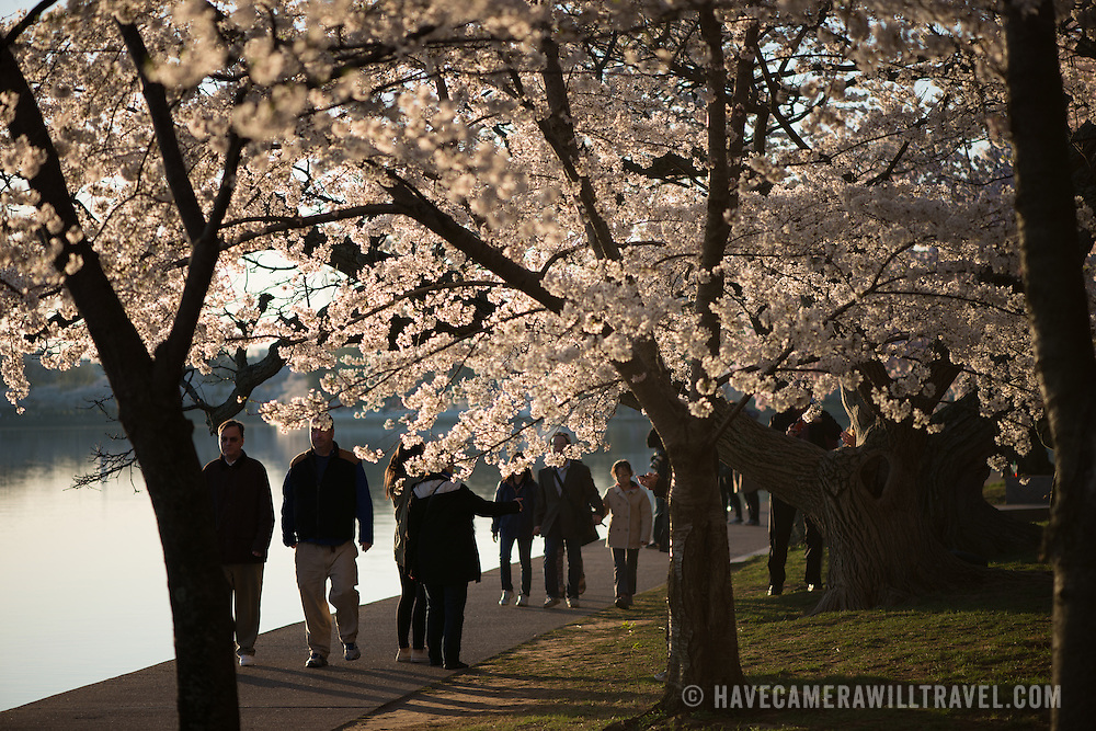 Visitors walk beneath the famous cherry blossoms in Washington DC.