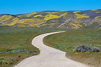 Dirt road leading to yellow Goldfields and purple Phacelia in the Carrizo Plains National Monument in California during a super wildflower bloom on April 4, 2019.