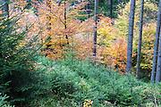 junge Tannenbäumchen Herbst Wald bei Hinterhermsdorf, Sächsische Schweiz, Elbsandsteingebirge, Sachsen, Deutschland | young fir trees, autumn forest near Hinterhermsdorf, Saxon Switzerland, Saxony, Germany