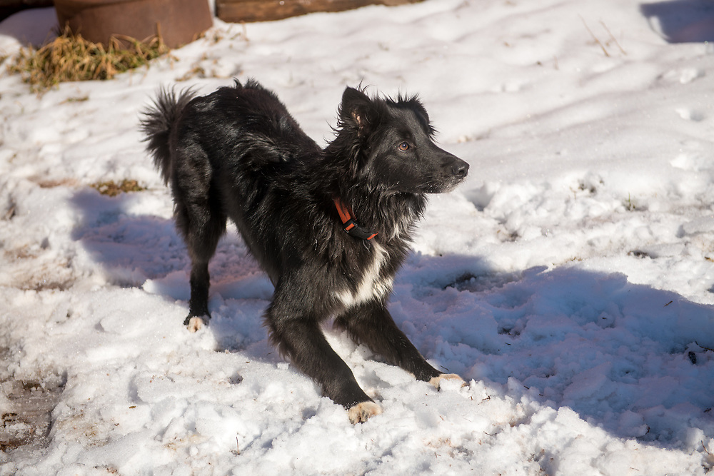An active border collie mix dog plays in the snow, Taneytown, Maryland