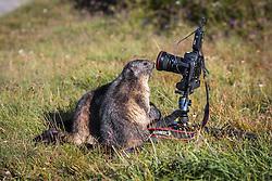 THEMENBILD - Murmeltiere begutachten einen Fotokamera auf der Grossglockner Hochalpenstrasse, Heiligenblut, Oesterreich, aufgenommen am 31. Juli 2015 // Marmots Marmots examine a camera from a photographer on the Grossglockner High Alpine Road, Heiligenblut, Austria on 2015/07/31. EXPA Pictures © 2015, PhotoCredit: EXPA/ JFK
