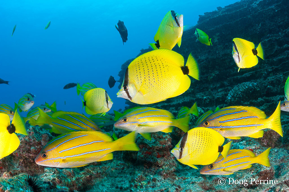 endemic milletseed butterflyfish, Chaetodon miliaris, bluestripe snapper or ta'ape, Lutjanus kasmira, and other reef fish at Vertical Awareness dive site, Lehua Rock, off Niihau, Hawaii ( Central Pacific Ocean )