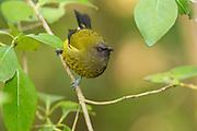 The beautiful dawn chorus of bellbirds singing in harmony can still be heard on Tiritiri Matangi, New Zealand.