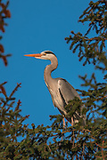 Grey Heron in top of tree | Gråhegre i toppen av et tre