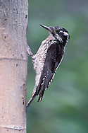 American Three-toed woodpecker - Picoides dorsalis - Adult female