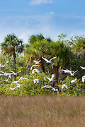 Flock of Great Egret, Ardea alba, and Wood Stork, Mycteria americana, birds in flight over wetlands in the Florida Everglades, USA