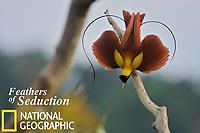Red Bird-of-Paradise (Paradisaea rubra) male performing practice display at tree-top lek.<br />Endangered Species (IUCN Red List: NT).
