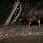 The gaur (Bos gaurus), called the Krating in Thailand, is the largest extant bovine. This species is native to the Indian Subcontinent and Southeast Asia. It has been listed as Vulnerable on the IUCN Red List since 1986. Population decline in parts of its range is likely to be more than 70% during the last three generations. However, Thai population trends are stable in well-protected areas, and are increasing in Kaeng Krachan National Park.