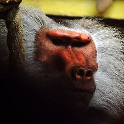 Babuíno-sagrado (Papio hamadryas). Registro feito em 2009. Animal em Cativeiro.<br /> <br /> <br /> ENGLISH: hamadryas baboon. Picture made in 2009. Captive animal.