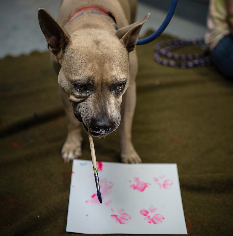 rer071017e/metro/July 10, 2017/Albuquerque Journal<br /> Artists are going to be using the paw prints of shelter pets to create new pieces, which will appear alongside the pets at an adoption event. This past Monday some animals at the shelter began getting their paw prints on canvases.  Pictured is June a Pit Bull mix that has been at the shelter since last June paint around her paw prints.<br /> Albuquerque, New Mexico Roberto E. Rosales/Albuquerque Journal