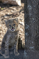 Youngs cheetahs at the Lunaret Parc - 25 Feb 2019
