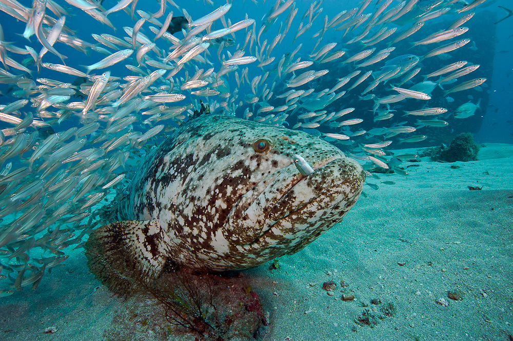 A Goliath Grouper, Epinephelus itajara, feeds on Cigar Minnows, Decapterus punctatus, near the shipwreck of the Bonaire in Jupiter, Florida, United States.