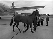 "Shergar At Dublin Airport.   (N82)..1981..25.06.1981..06.25.1981..25th June 1981..With the Irish Sweeps Derby being run on Saturday, ""Shergar"",the race favourite arrived at Dublin Airport today. the Sweeps Derby will be held on the Curragh Racecourse, Co Kildare. Shergar is owned by the stables of the Aga Khan..Shergar's travelling companion is pictured stretching his legs at Dublin Airport."